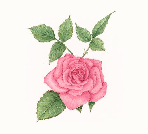 Rose (Colour) – ALEXNADER, Renée
