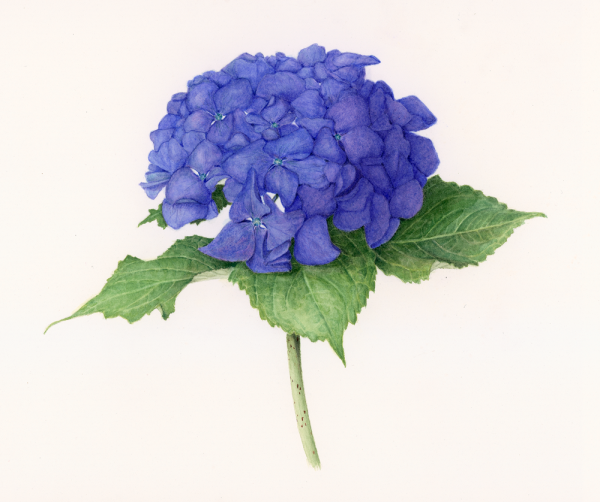 Purple Hydrangea by Renée Alexander