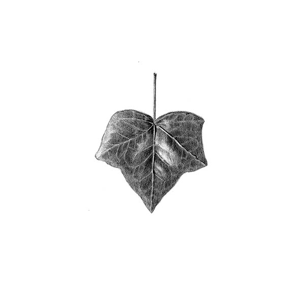 drawing of ivy leaf