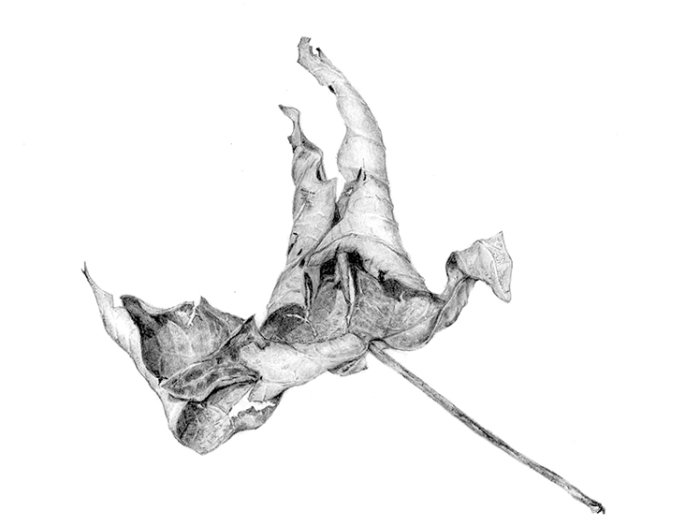 Botanical drawing of a decaying leaf by Renée Alexander