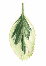 Illustration of eunomys leaf by Renée Alexander
