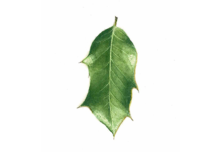 Illustration of a holly leaf, by Renée Alexander