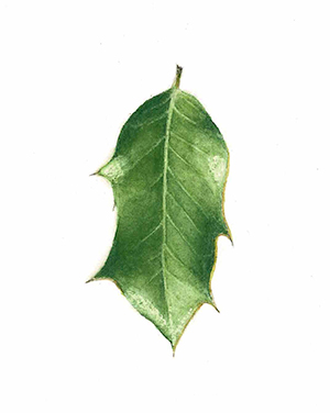 Illustration of a holly leaf, by Renée Alexander
