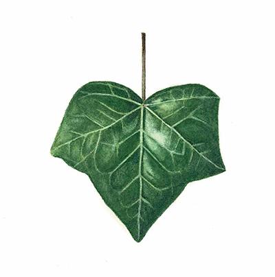 Painted ivy leaf by Renée Alexander