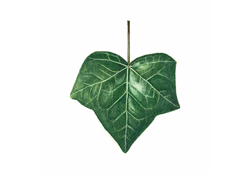 Painted ivy leaf by Renée Alexander